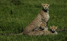 KENYA, AFRICA- A mother cheetah watches over her cubs as they rest. (Photo credit: Creative Being/Beverly Joubert)